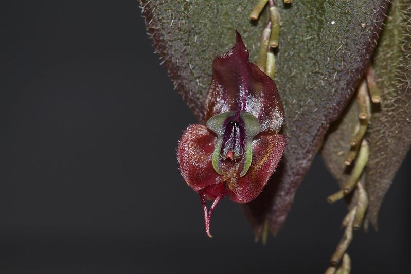 Miniatur-Orchideen Teil 4 - Seite 26 45924674164_ed677ebce8_c