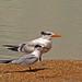 2018.09.08 Anastasia State Park Terns 1