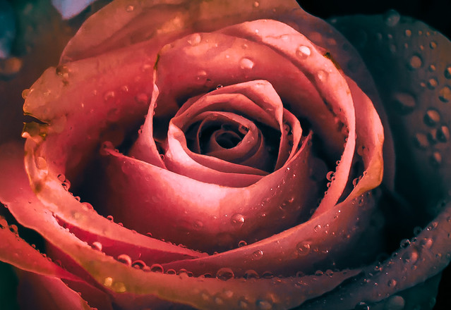 Red rose experiment with waterdrops