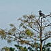 Flickr photo 'Belted Kingfisher (Megaceryle alcyon) on Cypress (Taxodium sp.)' by: Mary Keim.
