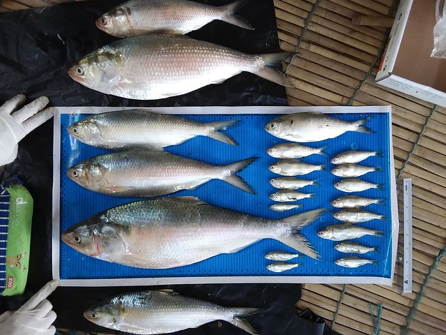 Hilsa size range 5-45 cm, Myanmar. Photo by Yangon University Department of Zoology.