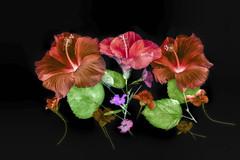 hibiscus1-lab