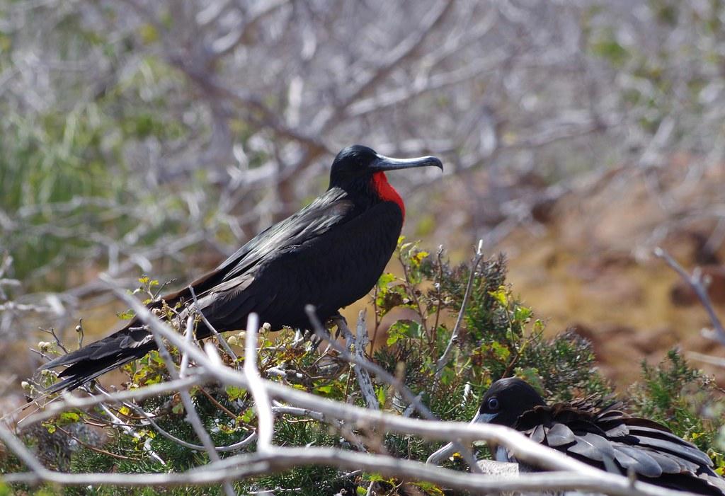 Frigate Bird, Galapagos, Ecuador