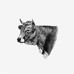 Vintage cow illustration