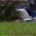 Low Flying Heron.