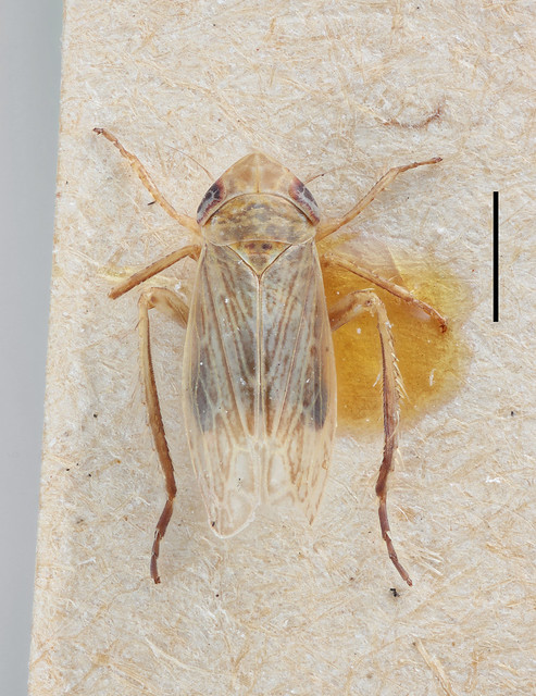 Cicada lividella Zetterstedt, 1838, Canon EOS R, Canon MP-E 65mm f/2.8 1-5x Macro Photo