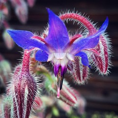 Borage still flowering