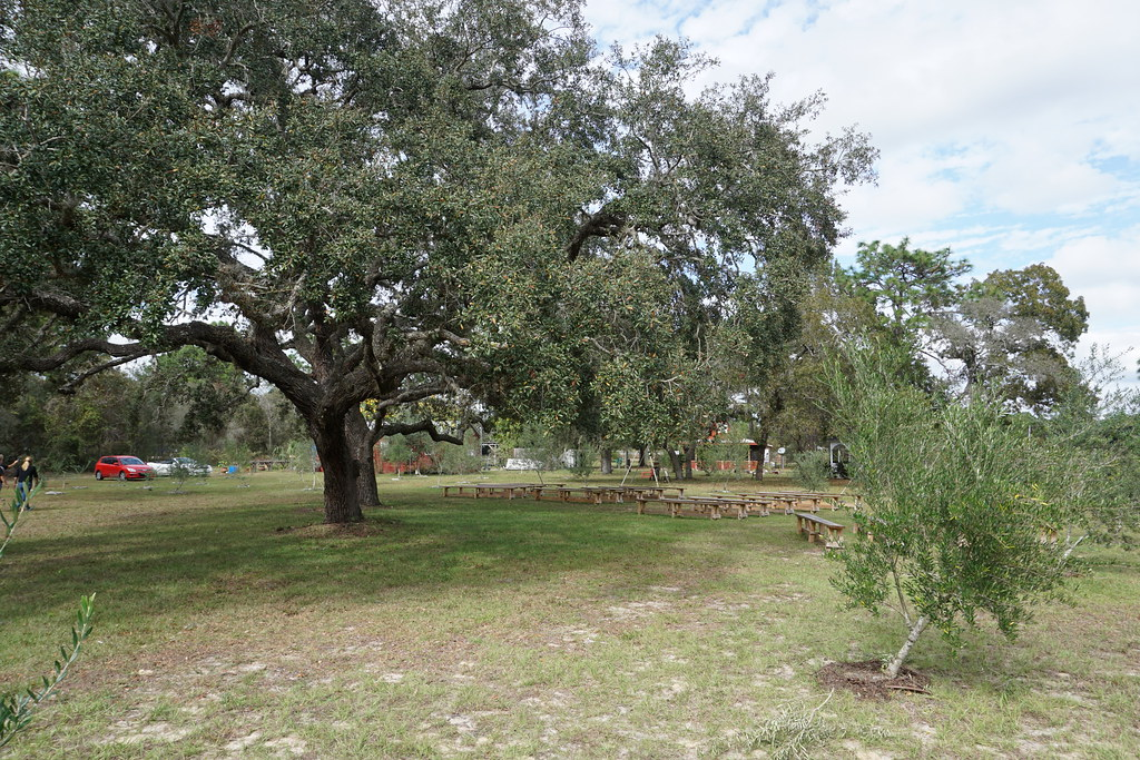 Workshops Are Often Held Under this Oak Tree at The Olive Grove, Brooksville, Fla.