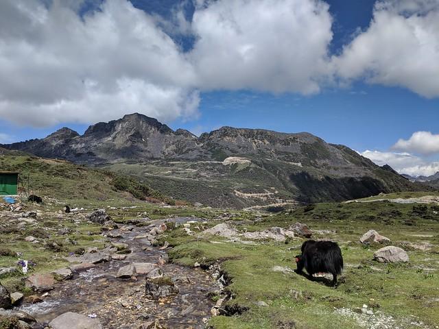 lone yak starting his morning routine