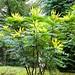 UK - Derbyshire - Near Edensor - Chatsworth House - Garden - Flowering bush