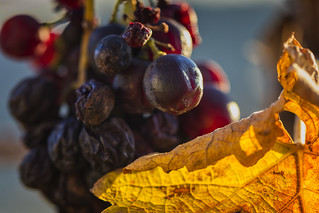 forgotten wrinkly grapes