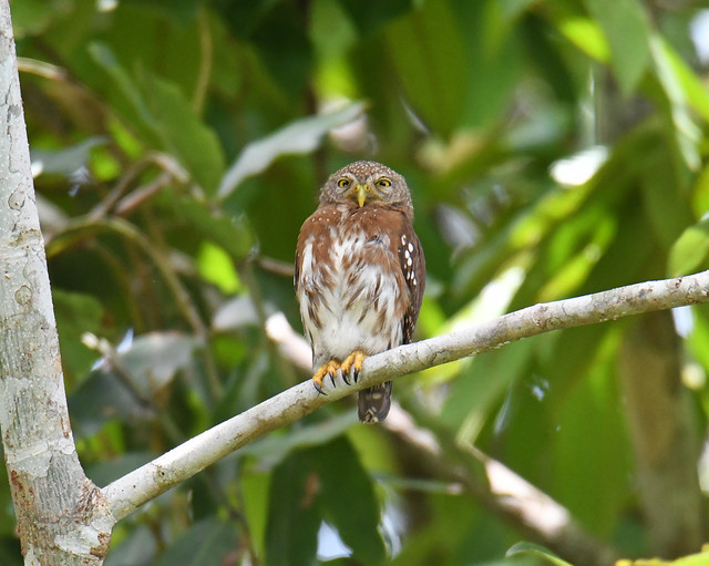 Central American Pygmy Owl, Nikon D500, Sigma Macro 50mm F2.8 EX DG