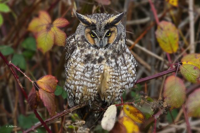 Long-eared Owl / Hibou moyen-duc