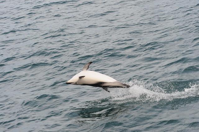 Dusky dolphin backslap, Nikon D700, AF VR Zoom-Nikkor 80-400mm f/4.5-5.6D ED