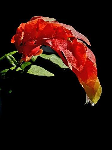 Camarão-vermelho, Beloperone guttata