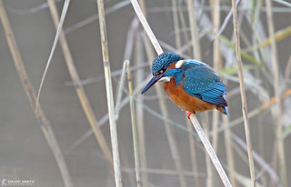 DSP03441 - Kingfisher ♀ (Alcedo atthis)