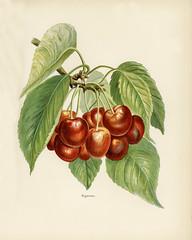 The fruit grower's guide : Vintage illustration of bigarreau cherries