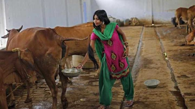 4771 Why do Hindus drink cow urine 03