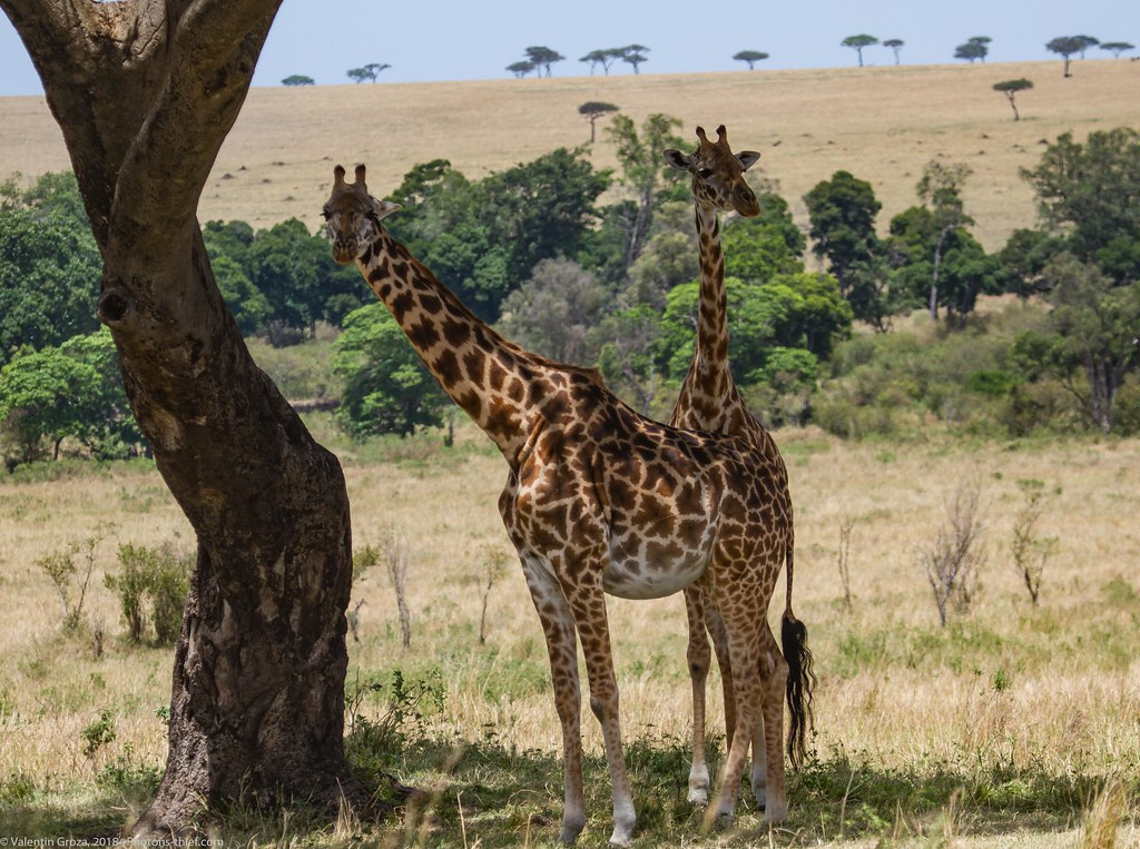 Girafe_septembrie 14_Maasai Mara