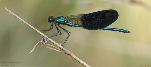 068 – Calopteryx xanthostoma, ♂