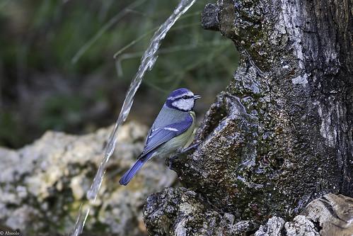 Herrerillo común. Blue Tit (Cyanistes caeruleus)