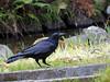 Photo:Crow at Hatonomori Park By Greg Peterson in Japan