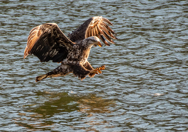 eaglebeforecatch2-3842, Nikon D500, AF-S Nikkor 200-500mm f/5.6E ED VR