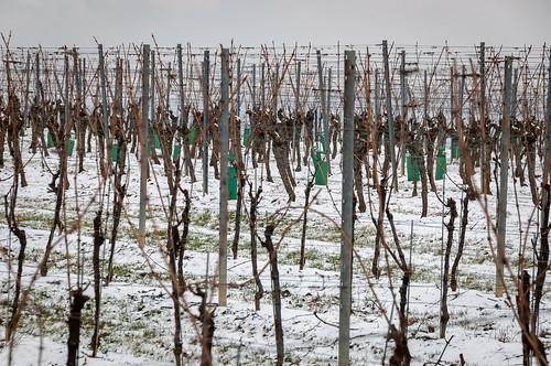 Raisin d'hiver(Scharrachbergheim,France)-100