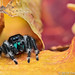 Jumping Spider by Tom's Macro and Nature Photographs