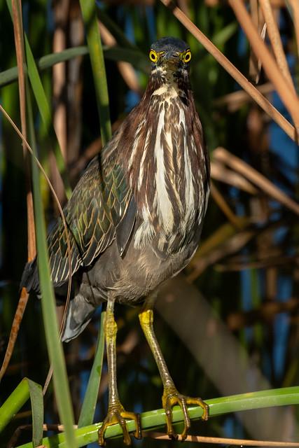 Green Heron - Garçote-verde - Butorides virescens
