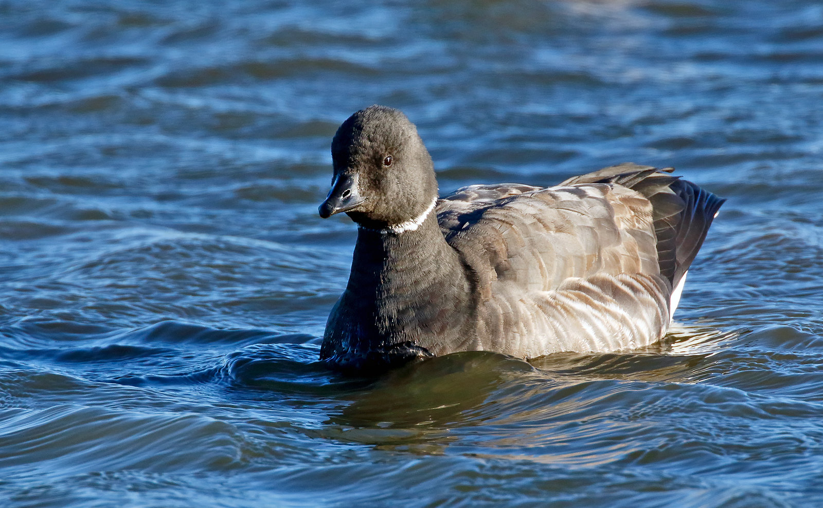 Brent Goose - dark-bellied form