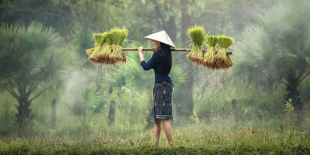 Un riz hybride peut cloner ses graines