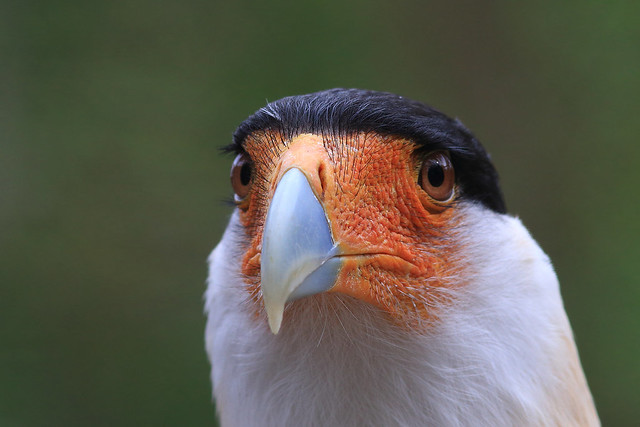 Caracara du nord 3, Canon EOS 70D, Canon EF 300mm f/4L IS