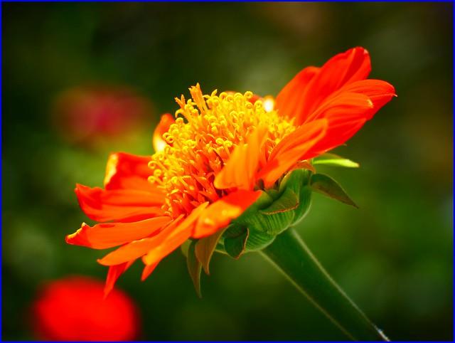 16Jan2019 - another flower, Panasonic DC-GF10, LUMIX G VARIO 45-150mm F4.0-5.6