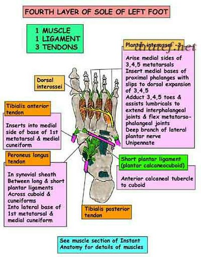 anatomy anatomy and physiology anatomy definition anatomy of the foot anatomy of the guts anatomy of the attention...