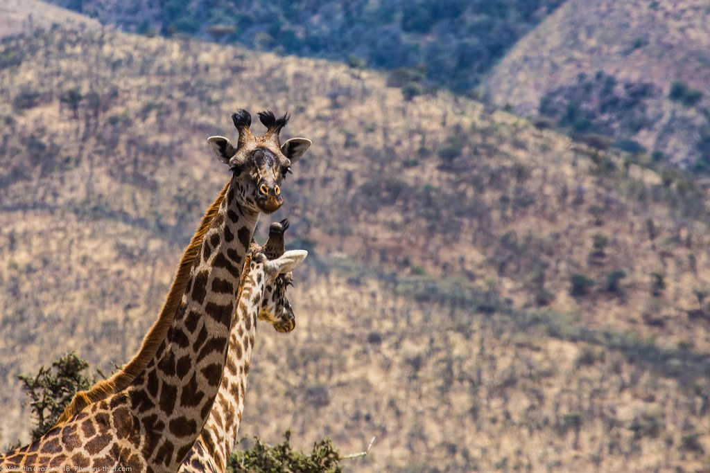 Girafe_septembrie 12_Serengeti_2