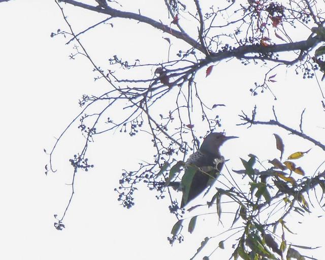 Northern Flicker in Poison Ivy