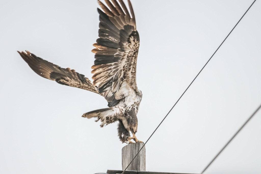 Bald Eagle Junvinile 2-2