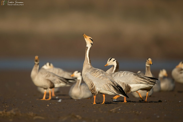 Bar Headed Goose, Canon EOS-1D X MARK II, Canon EF 800mm f/5.6L IS