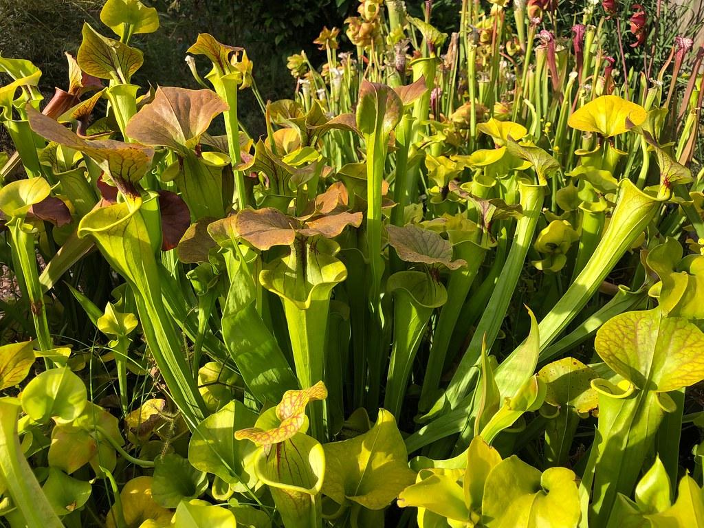 Sarracenia flava var. cuprea, Gotcha! Plants heavy vein