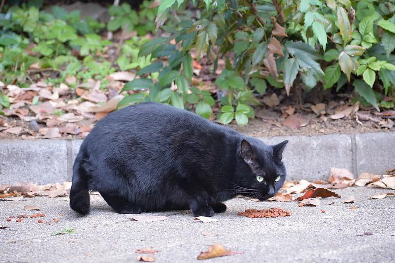 Nikon Df+AF P DX NIKKOR 70 300mm f4 5 6 3G ED VR池袋二丁目ふれあい公園の猫 黒