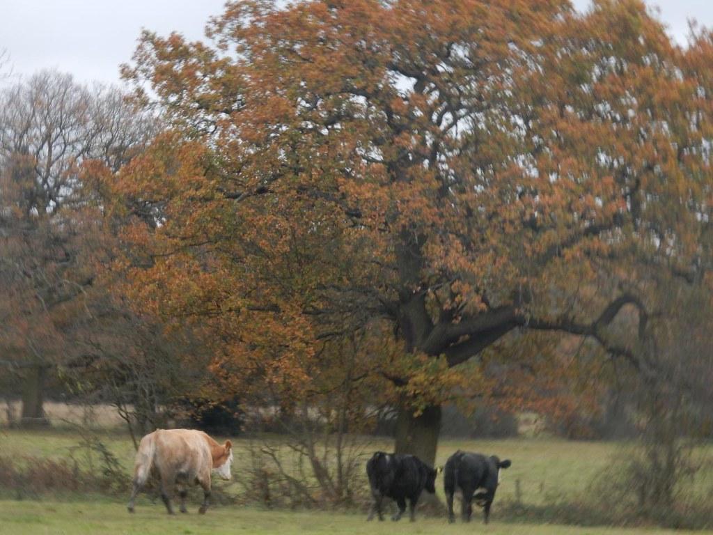 Retreating cows Totteridge Circular
