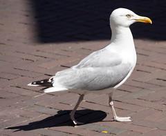 Meeuwen in Vlissingen (9)