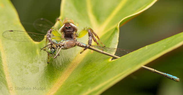 Green Jumping Spider with damselfly prey