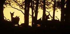 Woodland Evening