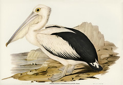 Australian Pelican (Pelecanus conspicillatus) illustrated by Elizabeth Gould (1804–1841) for John Gould's (1804-1881) Birds of Australia (1972 Edition, 8 volumes). Digitally enhanced from our own facsimile book (1972 Edition, 8 volumes).