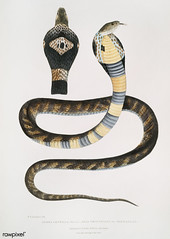 Banded Cobra Capella (Naia tripudians) from Illustrations of Indian zoology (1830-1834) by John Edward Gray (1800-1875). Original from The New York Public Library. Digitally enhanced by rawpixel.