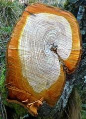 A slice of alder