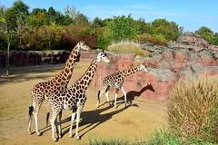 Rotschild giraffen