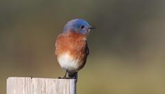 Eastern Bluebird- Veteran's Memorial Park
